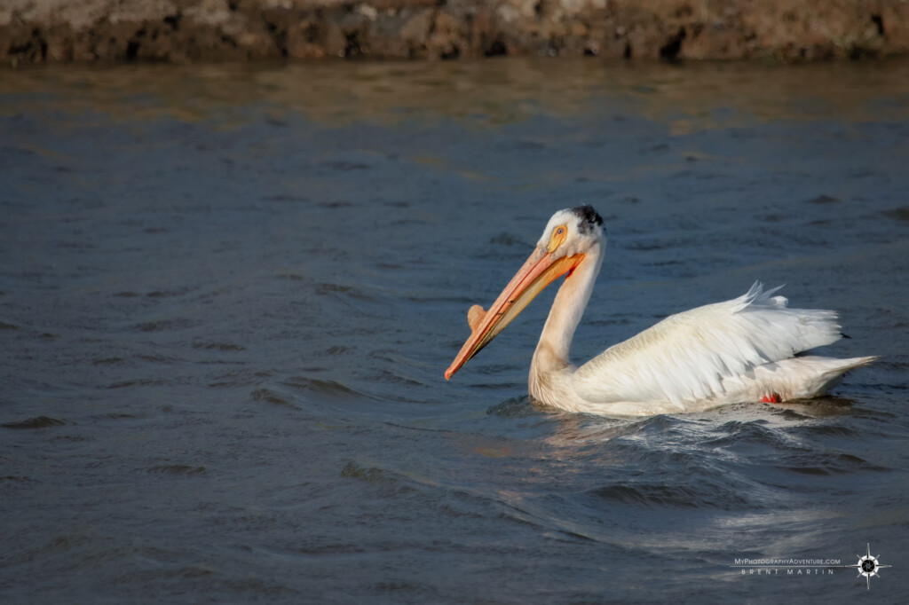 American White Pelican floating along in the Yolo Bypass Wildlife Area