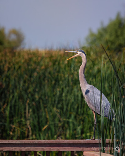 Great blue heron in the Yolo Bypass Wildlife Area.