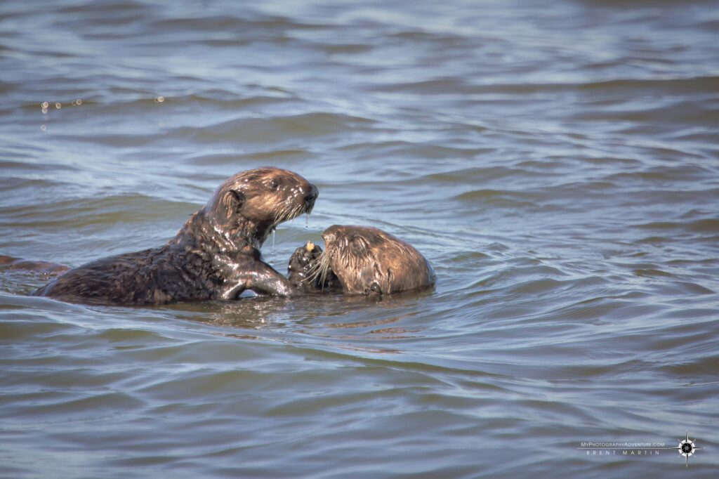 Sea otter mother and pup sharing a meal