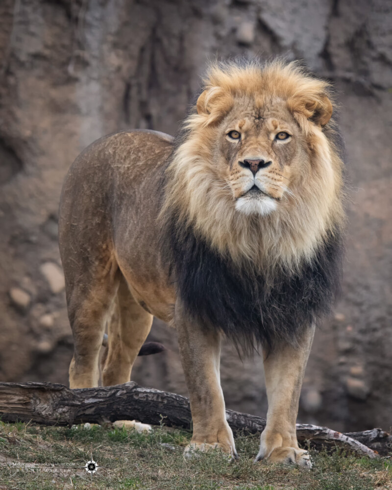 Top Image #1 - Male lion - Confidence - Taken at the Hogle Zoo, Salt Lake City